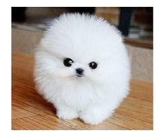 Charming Tracup Pomeranian Puppies for adoption  909-296-7704