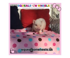 Tiny Pig Sale in West Virginia - Squeals On Wheels