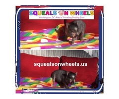 An Affordable American Miniature Pigs Sale - Squeals on Wheels