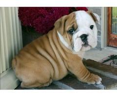 Super Adorable English bulldog Puppies text (702) 900-3952