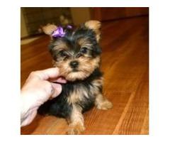 Mini Yorkie puppy Free to Good home