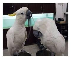 100% Tamed Umbrella Cockatoo babies For SalE