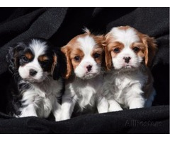 Blenheim, Tricolour and Ruby cavalier Puppies For Sale