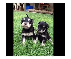 Gorgeous Miniature Schnauzer Puppies for sale