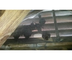 Bat Removal Services in Atlanta