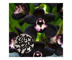 Egrow 100Pcs/Bag Black Cymbidium Seeds Unique Black Cymbidium Faberi Flower Bonsai Garden Seeds