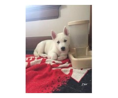 Beautiful Siberian Husky Puppies for adoption