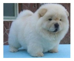 Chow chow puppies available.
