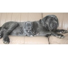Neapolitan Mastiff Puppies available