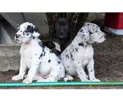 Excellent  harlequin, merlequin, and black Great dane puppies for sale