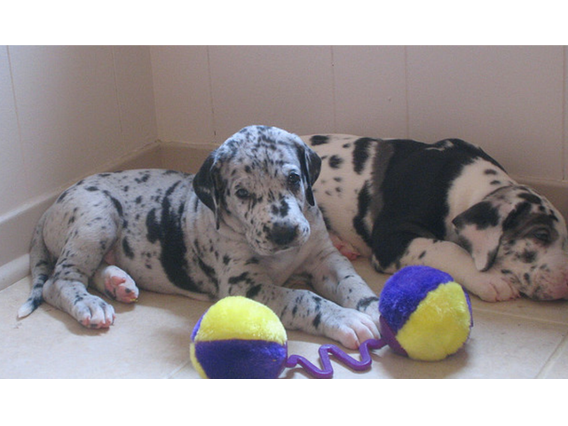 How Much Are Harlequin Great Dane Puppies - Goldenacresdogs com