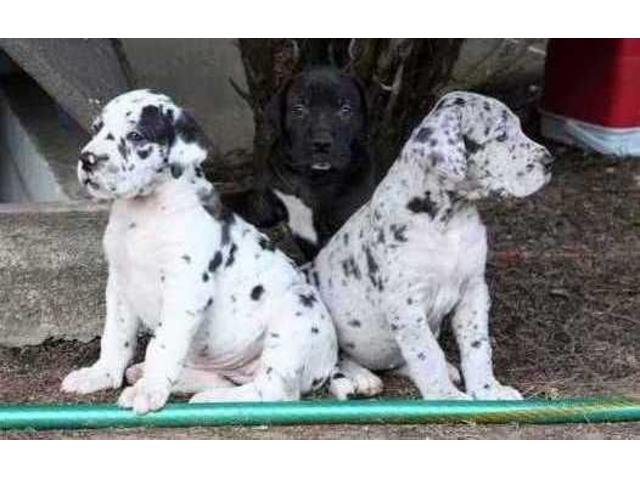 Excellent harlequin, merlequin, and black Great dane puppies for sale ,