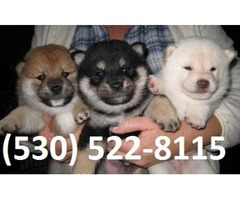 Beautiful Shiba Inu puppies ready now