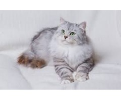 adorable persian cat for rehoming