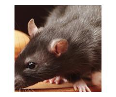 Best Rat Removal Service in Atlanta