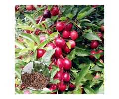 Egrow 10Pcs/Bag Cherry Seeds Rosaceae Cherry Plum Shrub Prunus Cerasifera Bonsai Ornamental Plants