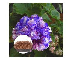 Egrow 50Pcs/Bag Geranium Seeds Night Blue Geranium Seeds Appleblossom Rosebud Pelargonium Perennial