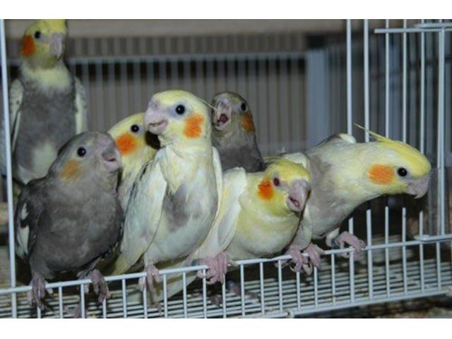 Umbrella Cockatoo eggs, Palm Cockatoo eggs, Goffin - Animals