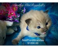 TICA Reg Ragdoll Kittens