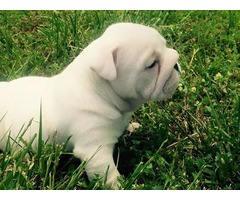 English Bull dog Pups for sale