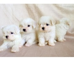 Maltese Puppie free for good home.