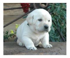 Labrador Retriever puppies for your home