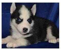 Siberian Huskies pups 302) 585-5627