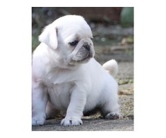 Pug puppies- ready to go