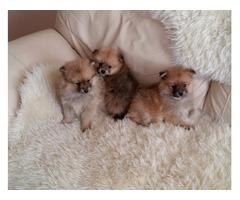 Three Pomeranian puppies for adoption