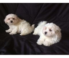 Adorable Bichon X Maltese Pups for adoption