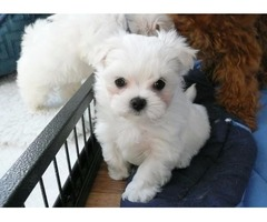 Exceptional AKC Maltese Puppies for adoption