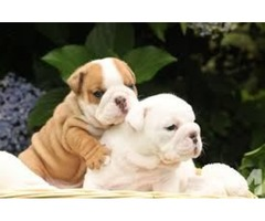 Super Adorable English Bulldog Puppies for sale