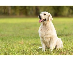 Looking for a white English golden retriever? Get in touch with GOLDWYNNS