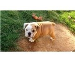 -English Bulldog Puppies Available. ';.,