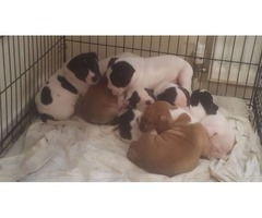 -English Bulldog Puppies Available. 'd