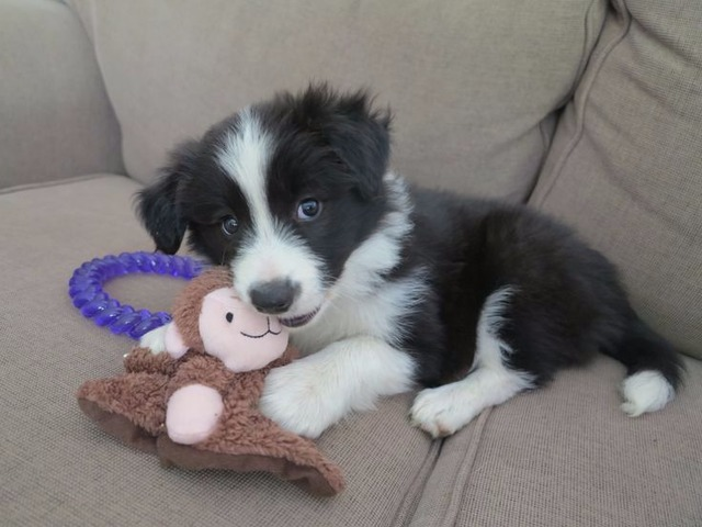 Cute and Adorable Border Collie Puppies for Adoption ...