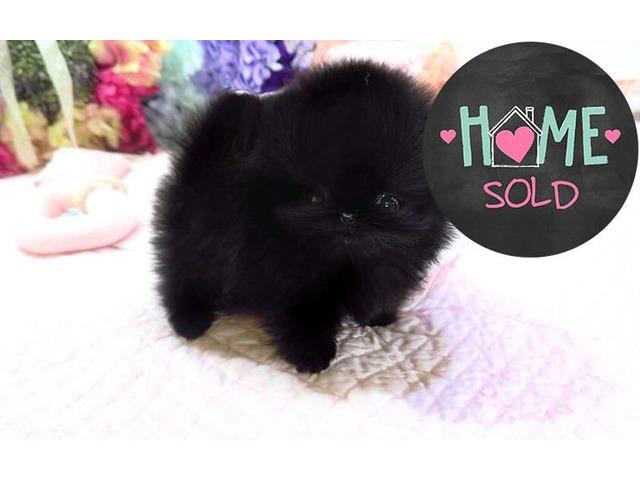 Precious Black Pomeranian Puppy For Adoption