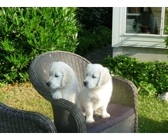 Get The Finest Golden Retriever Puppies Only With Goldwynns
