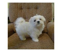 Maltese puppies. Call 302-417-2971