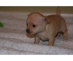 Amazing chihuahua puppies available for new homes