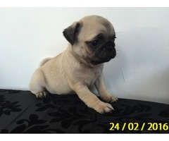Amazing pug puppies available for adoption