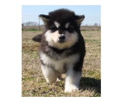 Lovely Alaskan Malamute puppies for Adoption