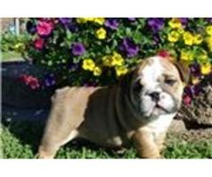 -English Bulldog Puppies Available. ';.sedz