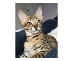 Serval and F1 Savannah for sale.