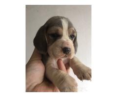 Blue Beagle puppies