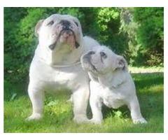 -English Bulldog Puppies Available. ';.