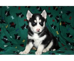 Siberian husky puppies ready for adoption.