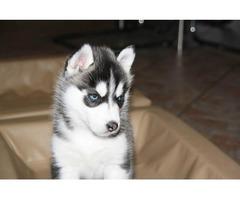 Siberian husky puppies ready for adoption.