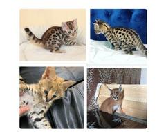 Savannah kittens available.