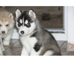 husky puppies ready for adoption.